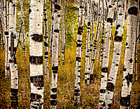 Aspen Forest Canada 1