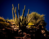 Cactus On Hilltop Baja
