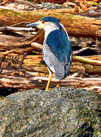 Black-capped Night Heron Chile 3