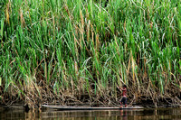 High Grass Along the Sepik River PNG 2