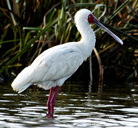 African Spoonbill #1