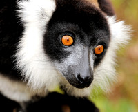 Black and White Ruffed Lemur 1