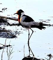 Blacksmith Plover at sunset 2