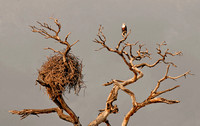 African Fish Eagle and Nest#666