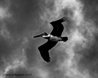 Brown Pelican In Flight 3 signed