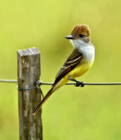 Brown-crested Flycatcher #6A