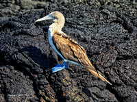 Blue-footed Booby On Lava 2 signed