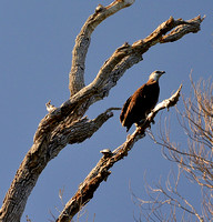 African Fish Eagle Madagascar Var 3