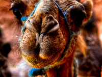 Camel At Kasbah Tamadot Petting Zoo 1